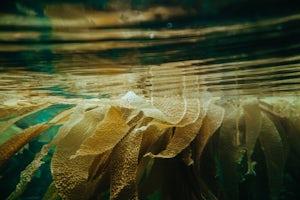 Kelp Ingredient