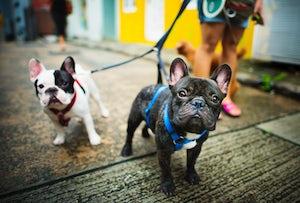 French Bulldogs walk on lead