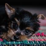 tiny-dog-portrait