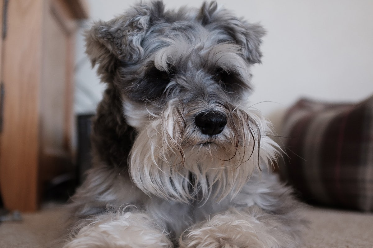 Pancreatitis in dogs, schnauzer