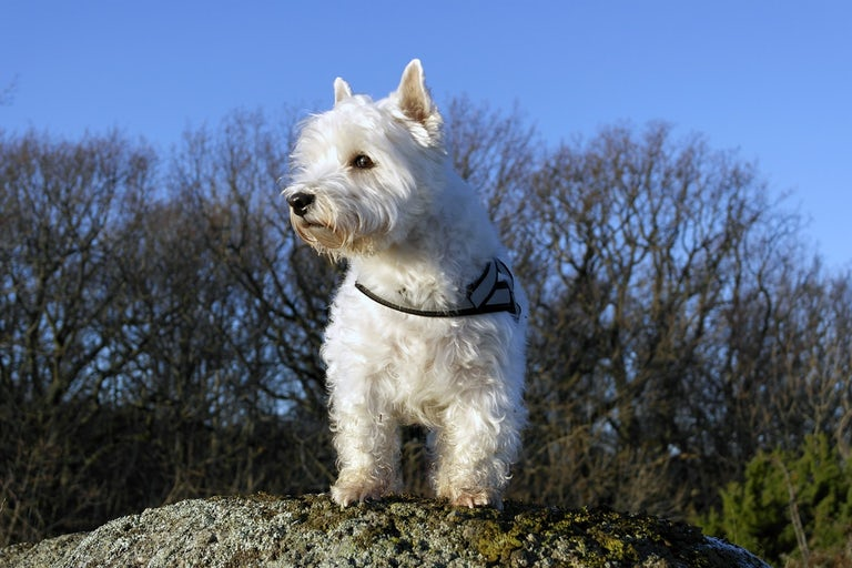 This Westie loves the benefits of Bone Broth for dogs