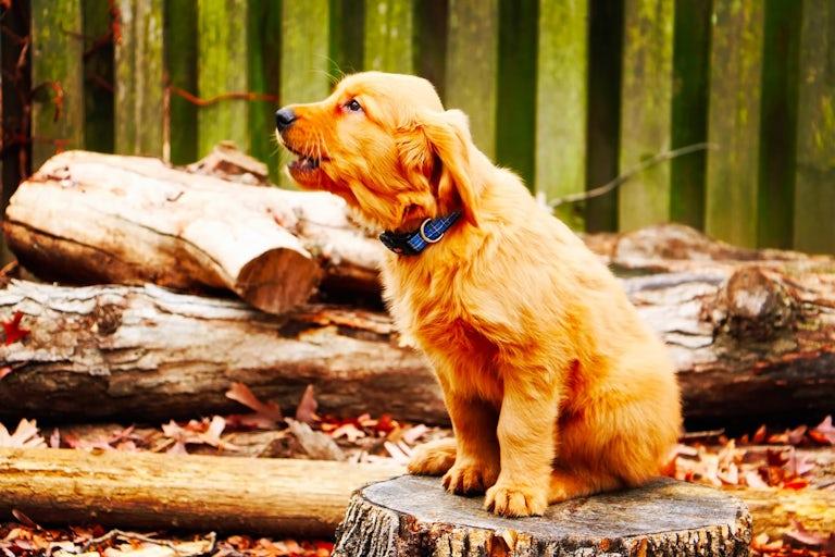 Dog barking on a walk sitting on a tree stump