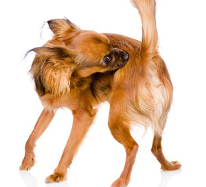dogs anal glands are itchy
