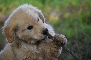 Let pups chew they