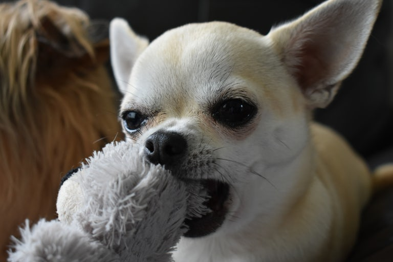 Pica in dogs can be eating any non food item from toys to stones and toxic plants and berries