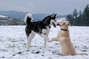 husky and lab type dogs in snow