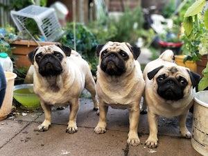 three pugs flat dogs